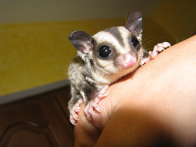 bonding with sugar glider