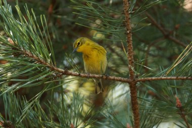 Birding at Oberg Mountain - May 18 @ Sugarloaf Cove Nature Center | Schroeder | Minnesota | United States