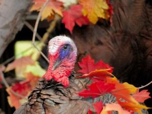 Photo of a turkey