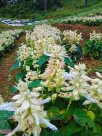 Sunflower Farm Dalaguete (11)