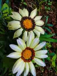 Sunflower Farm Dalaguete (12)