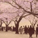 稲田堤の桜