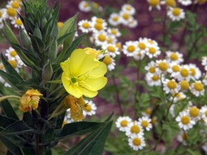 Evening Primrose with Feverfew