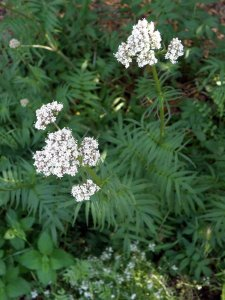 Valerian flowering