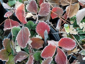 Winter tipped strawberry leaves