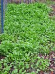 Field of Miner's Lettuce