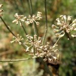 Fennel seed heads