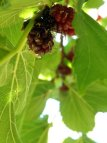 Mulberry clusters