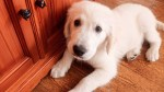 【犬猫動物動画まとめ】Cute Golden Retriever Puppy Bailey Nibbling Furniture
