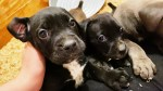 【犬猫動物動画まとめ】6 Week old Cane Corso puppy puts sibling in submissive posture