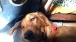 【犬猫動物動画まとめ】Adorable Dog Gets Drowsy to Guitar Serenade