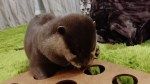 【犬猫動物動画まとめ】I tried playing with Aty with a toy that we got as a gift from the viewer! [Otter life Day 210]