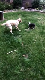 【犬猫動物動画まとめ】Dogs' Game of Keep-Away Leads to Airtime