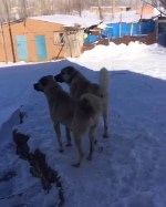 【犬猫動物動画まとめ】KANGALLAR KAR KEYFi - KANGAL SHEPHERD DOGS and SNOW