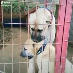 【犬猫動物動画まとめ】DEV COBAN KOPEGi ve YAVRUSU - GiANT SHEPHERD DOG and PUPPY