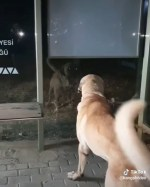 【犬猫動物動画まとめ】GECE KENDiNE ATARLANAN COBAN KOPEGi - ANATOLiAN SHEPHERD DOG HiMSELF wit VS at NiGHT