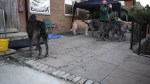 【犬猫動物動画まとめ】Irish Wolfhounds Howl For Heroes in Austonley