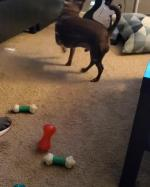 【犬猫動物動画まとめ】Dog Gets Confused While Playing With Squeaky Toy
