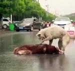 【犬猫動物動画まとめ】A dog cries for his wife who died in a car accident.