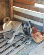 【犬猫動物動画まとめ】COBAN KOPEGi ve TAVUK - ANATOLiAN SHEPHERD DOG and CHiCKEN