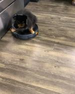 【犬猫動物動画まとめ】Dog Wearing Elizabeth Collar Loves to Ride Roomba