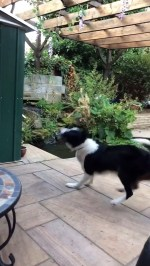 【犬猫動物動画まとめ】Excited Border Collie Spins for Fish Feeding