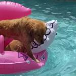 【犬猫動物動画まとめ】Dogs Sit On Top Of Inflatable Float Inside Pool