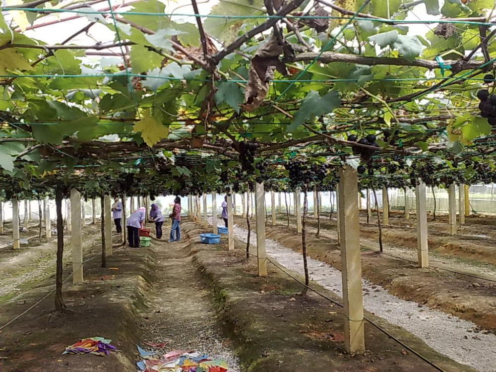Ladang Anggur Tasik Beris : 2nd Visit (6/6)