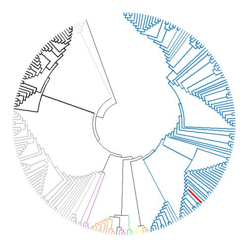 Lachancea genus phylogenic tree