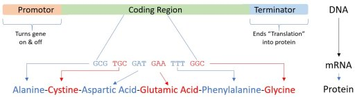 Diagram of how genetic information ravels from DNA to protein