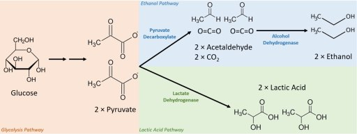 Diagram showing the fermentation of glucose into ethanol versus lactic acid. Sourvisiae has been engineered to do both