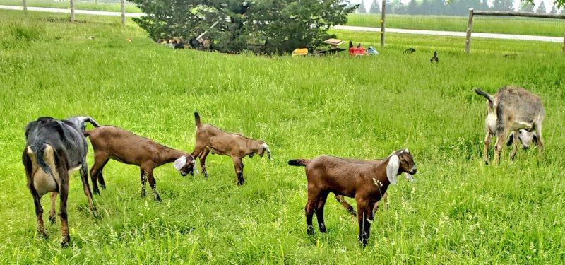 mother goats and their kids in the pasture.