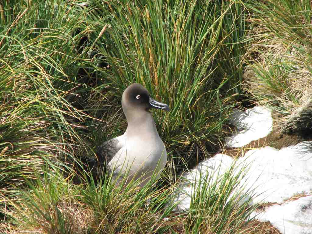 Beautiful sooty albatross on Prion Island.