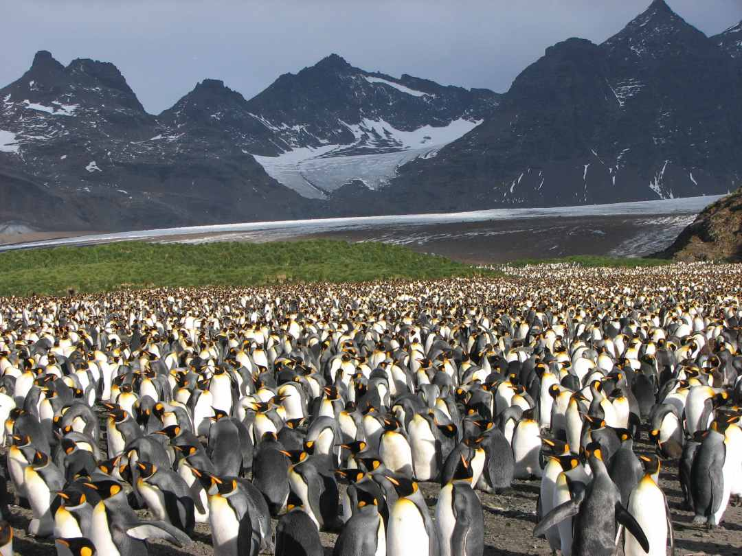 Thousands of king penguins at Salisbury Plain, South Georgia.