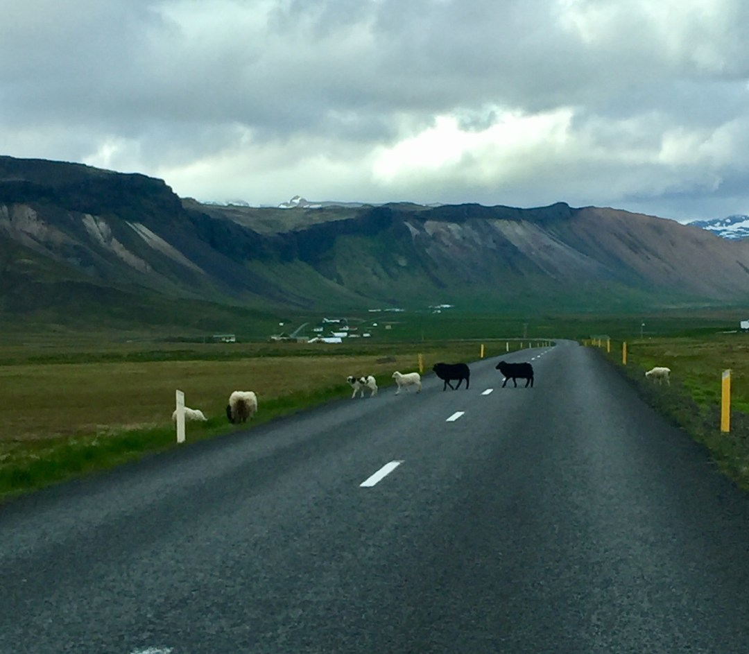 Sheep on the road in Iceland.