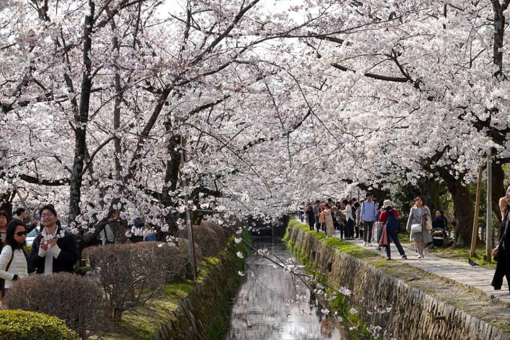 Cherry blossoms along the Path of Philosophy Kyoto