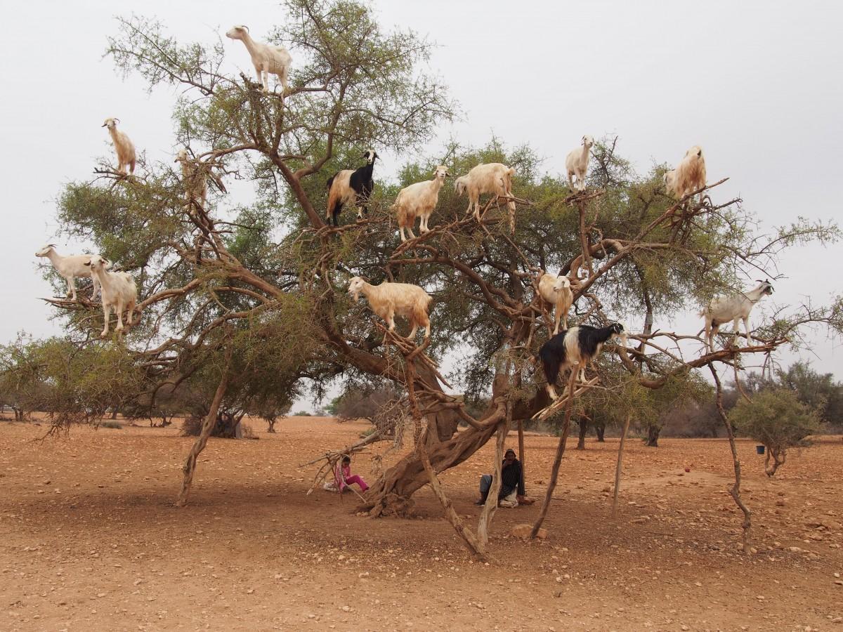 Kate Goats Trees Morocco