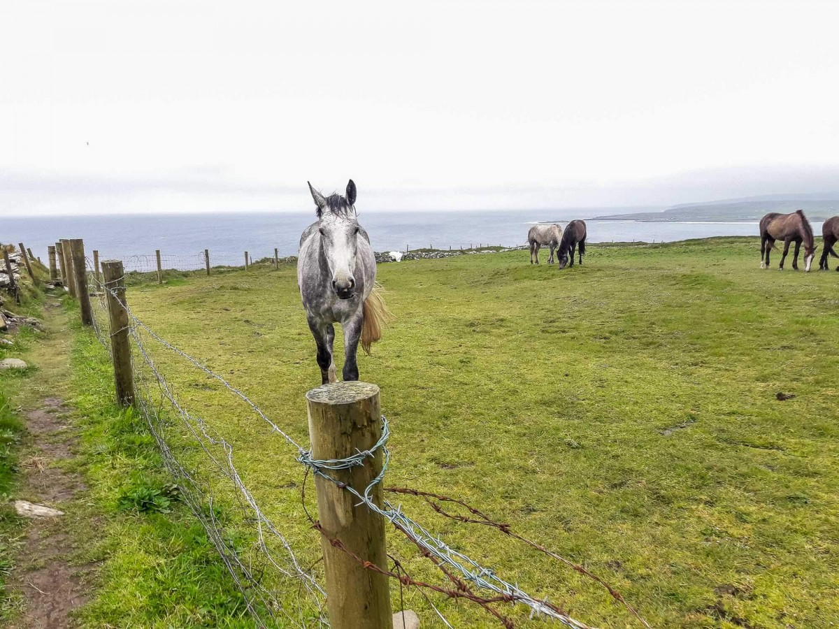 A white horse on the Cliffs of Moher doolin hike stand in the grass