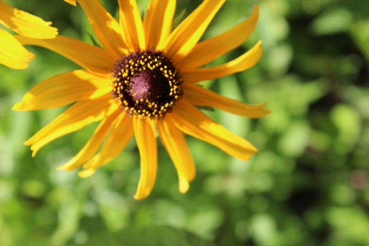 A yellow daisy close-up during an Indiana summer.
