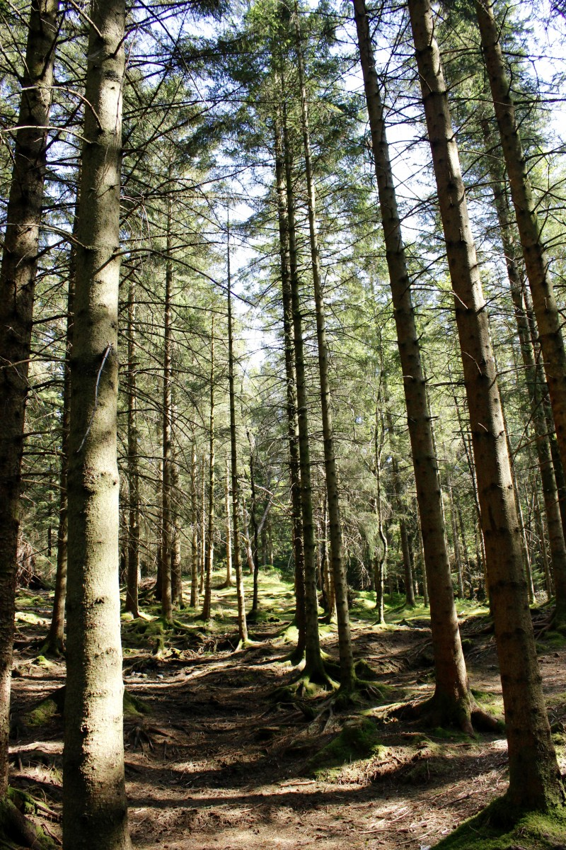 Norway photos gallery: These tall, skinny trees were common throughout the forest on MountFløyen, in Bergen.