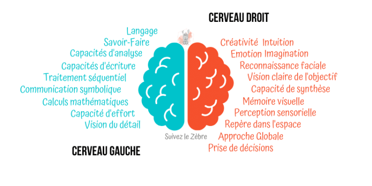 Cerveau Droit ou Cerveau Gauche ? - suivezlezebre