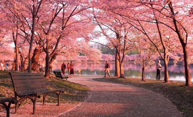 14 Tempat Terbaik Untuk Melihat Bunga Sakura Selain di Jepang