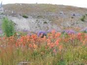 Wildflowers, Johnson's Ridge.