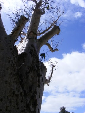 Boab tree, with parrots