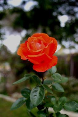 alexander rose (Large)