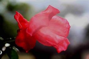 alexander rose3 (Large)