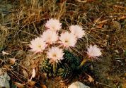cacti 7 (Large)