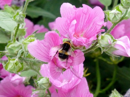 bee-and-lavatera-1