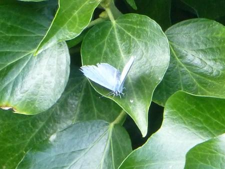 common-blue-male-1