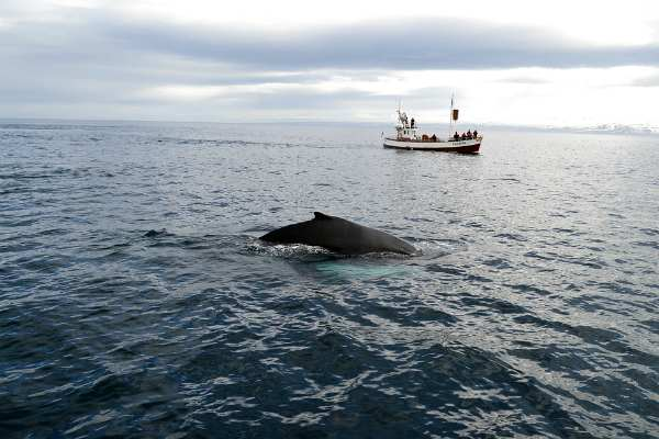 Whale watching in Islanda